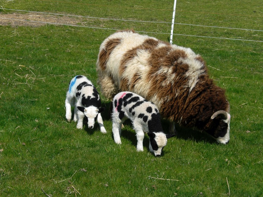 A Jacob ewe grazing with two lambs by her side